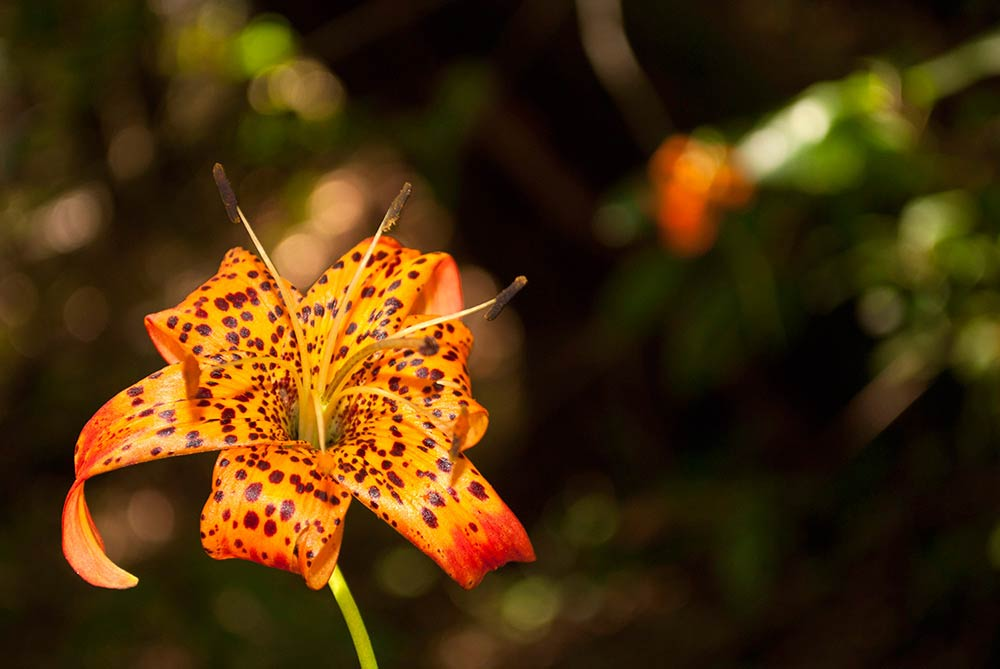 Flora-and-Fauna---Leopard-Lily-4-(Tom-Greco)