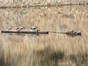 Citizen-Science-Turtle-Pond